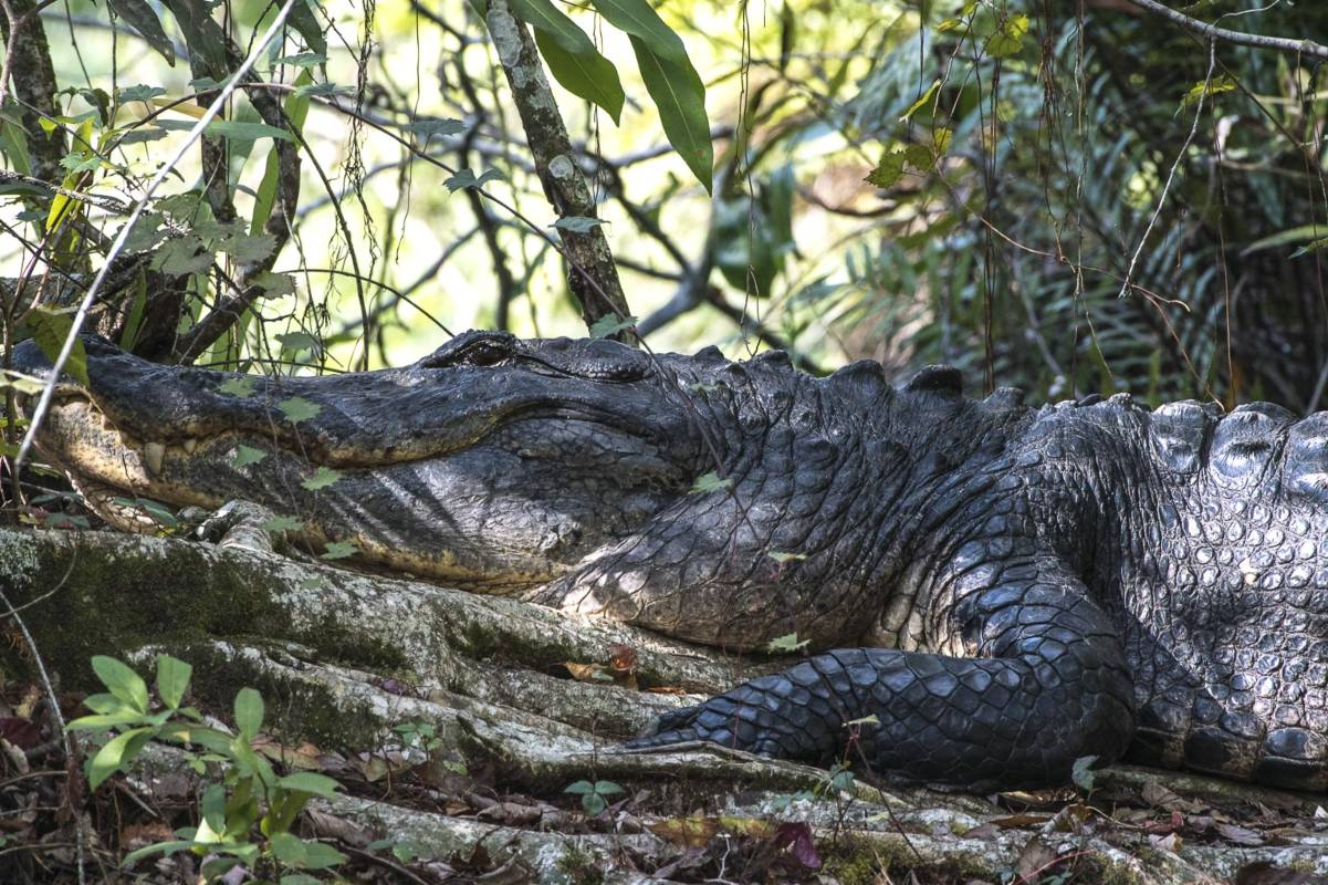 Alligator_Audubon2_web_neu
